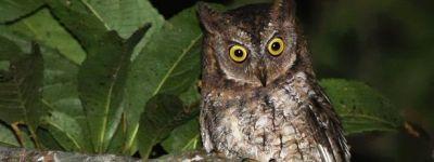 Rinjani Owl